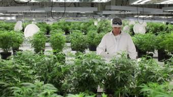cannabis-factory